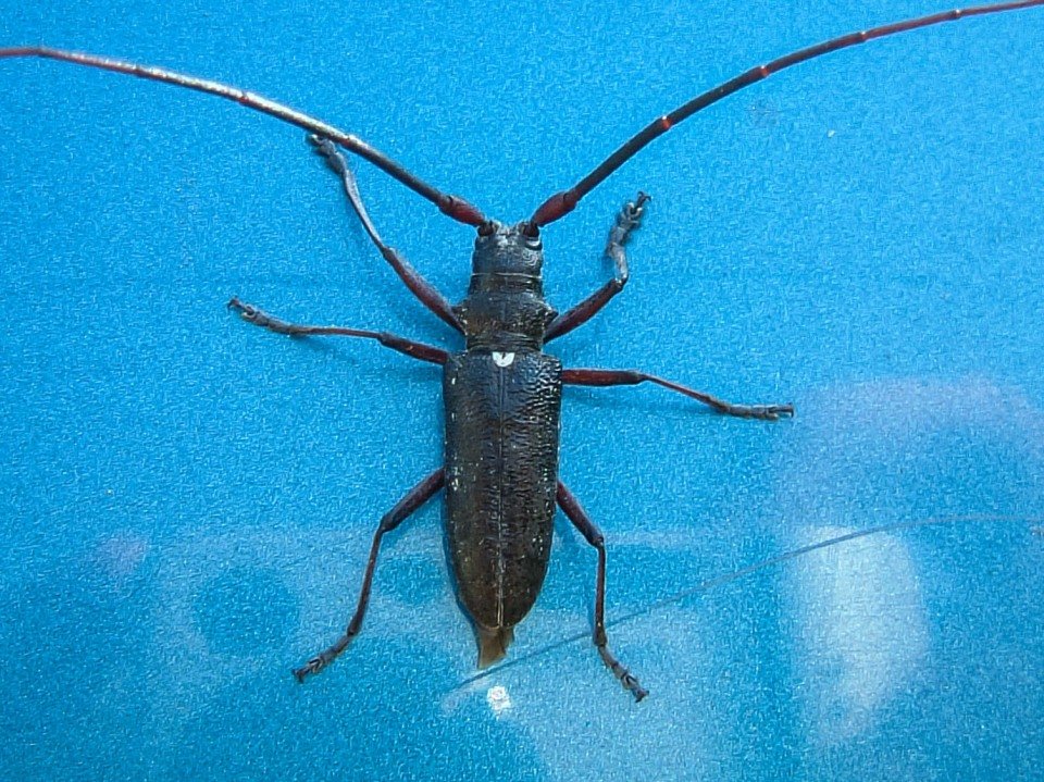 Pine Sawyer Beetle, Monochamus scutelatus (Family: Cerambycidae)