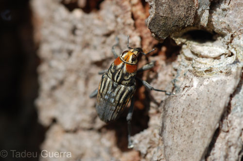 beetle mimicing fly