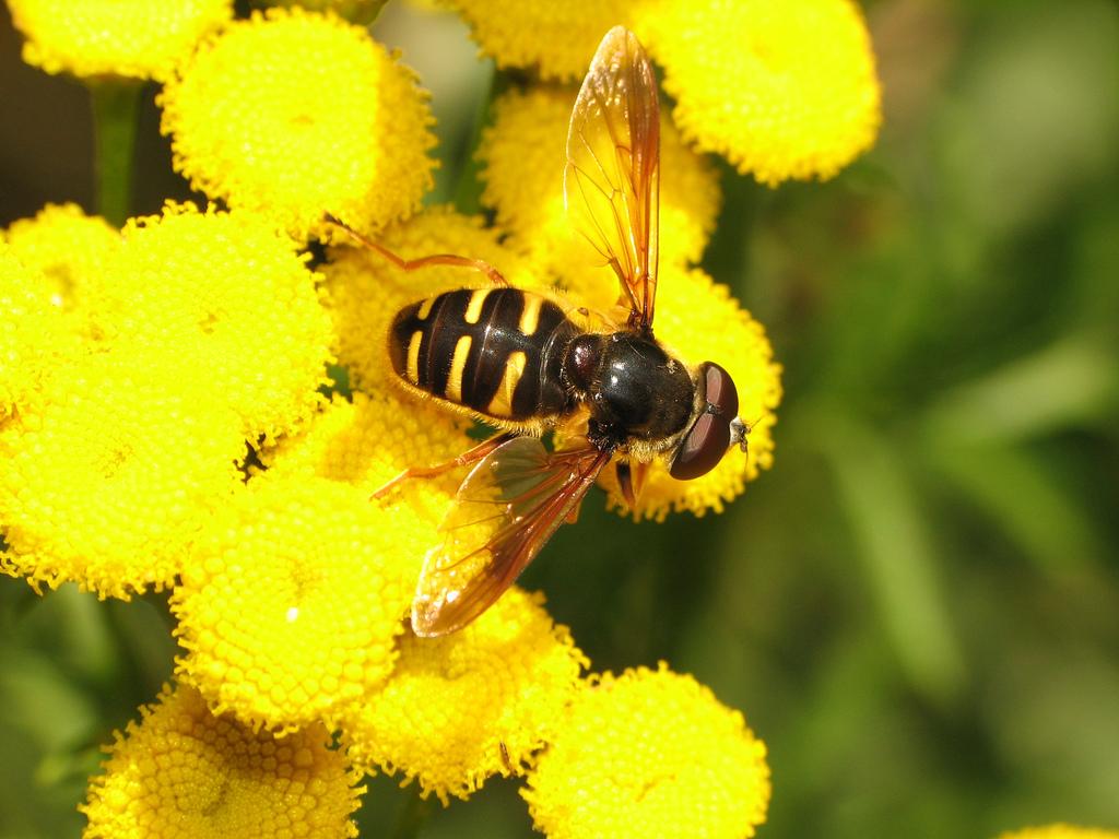 Sociedad de Horticultura del Pacífico | Aliados del jardín: Moscas de la mosca