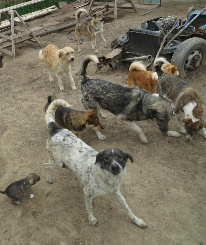 Street Dogs (Cazasu, RO)