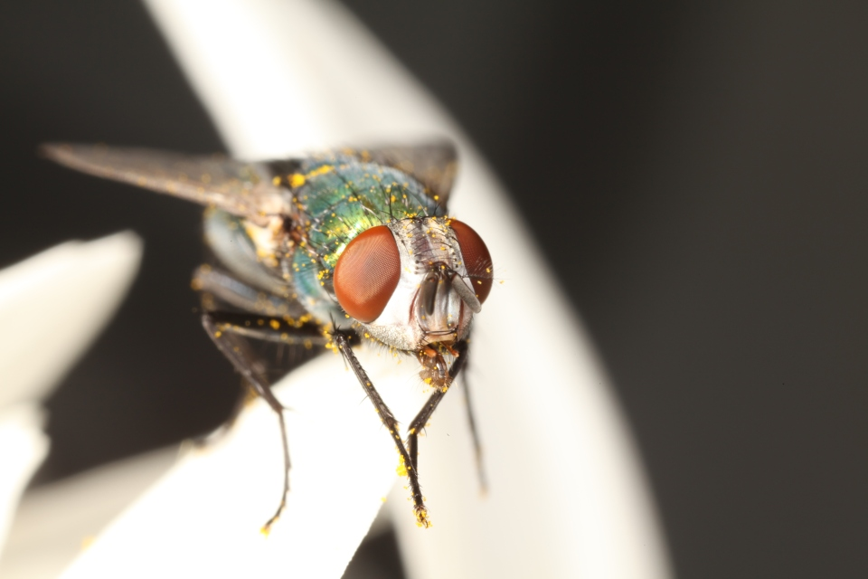 Blow fly covered in pollen grains (Photo: Mike Hraber).