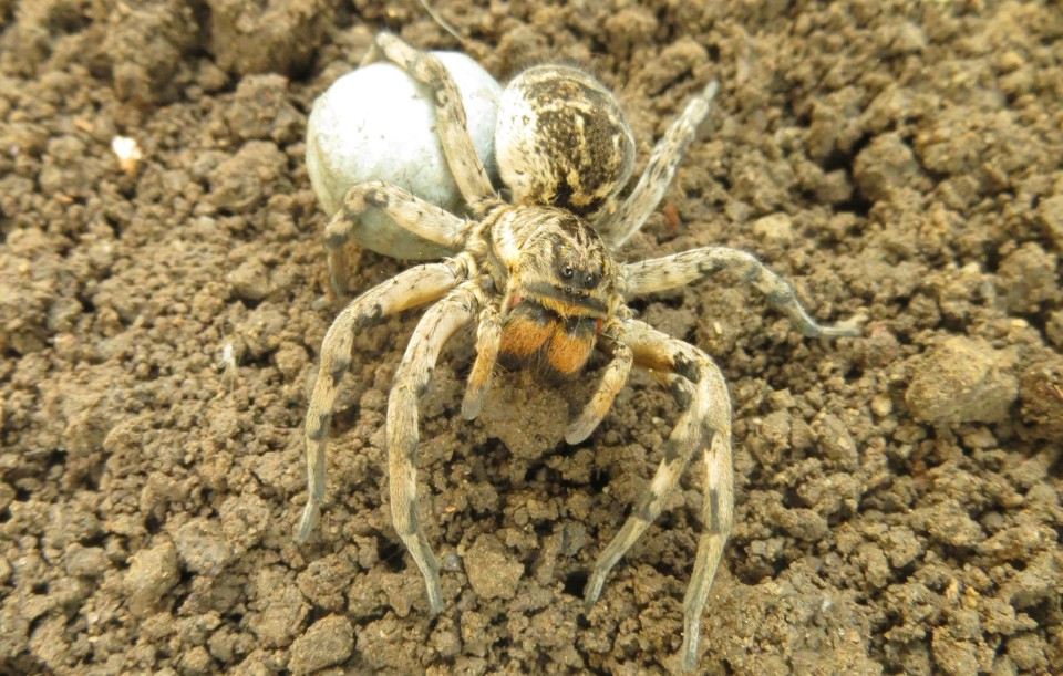 Romanian tarantula, Lycosa singoriensis (Lexmann 1770)