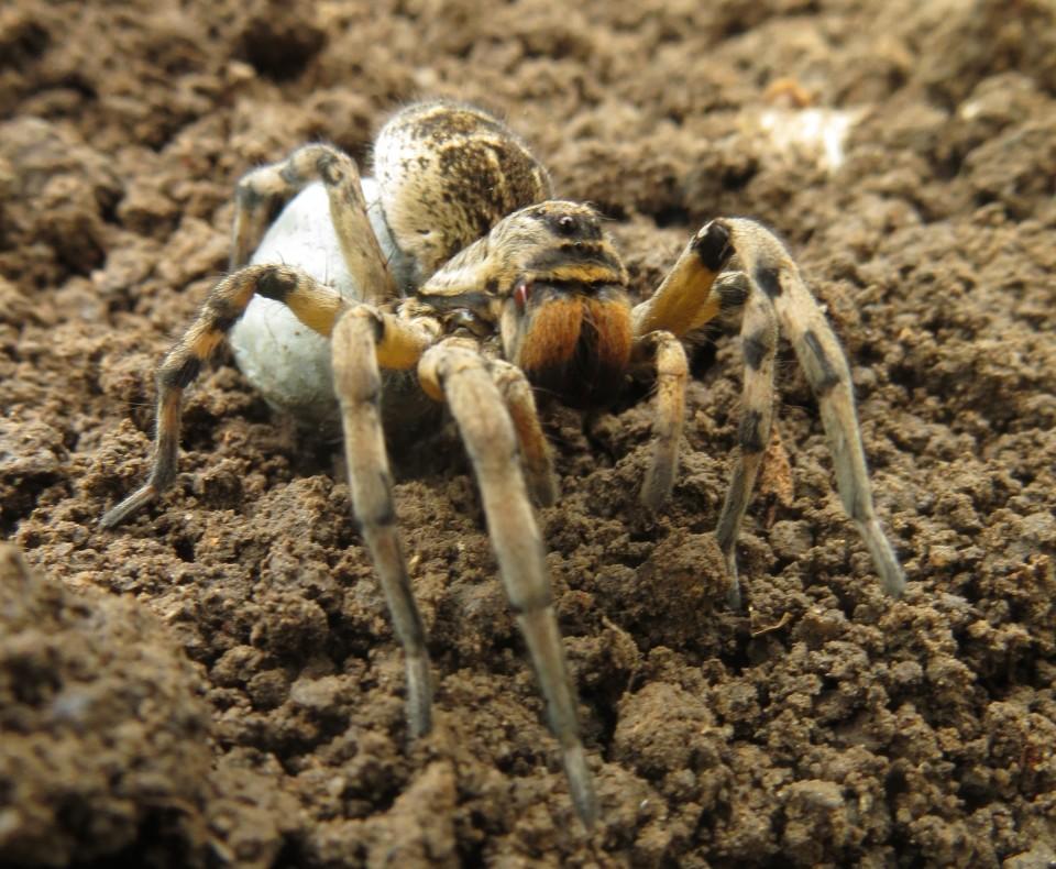 Female Romanian tarantula with egg sack.