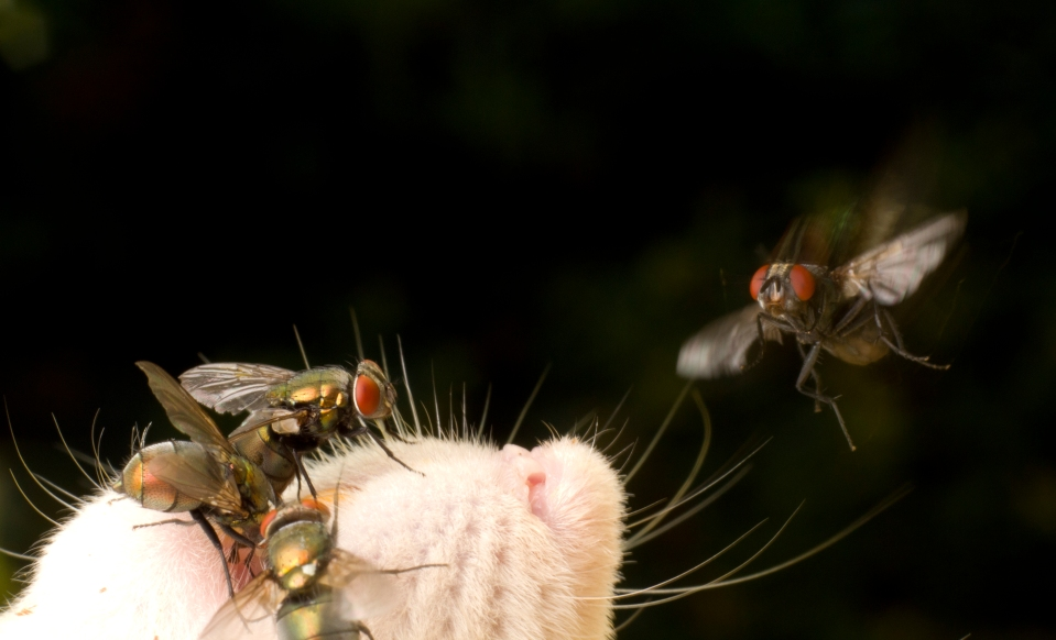 Blow fly coming in to land on a rat corpse (Photo: Sean McCann)