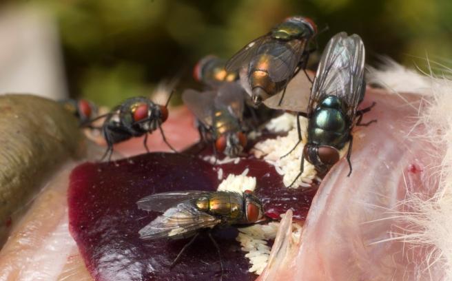 Female blow flies and eggs on a vertebrate carcass (Photo: Sean McCann).