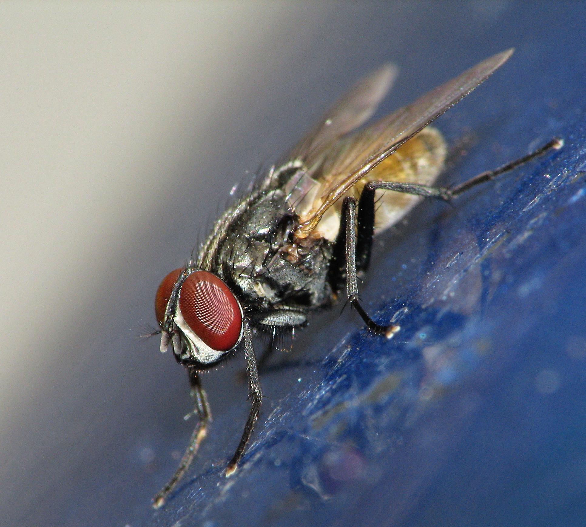 can ebola be vectored by flies bekka s brodie phd