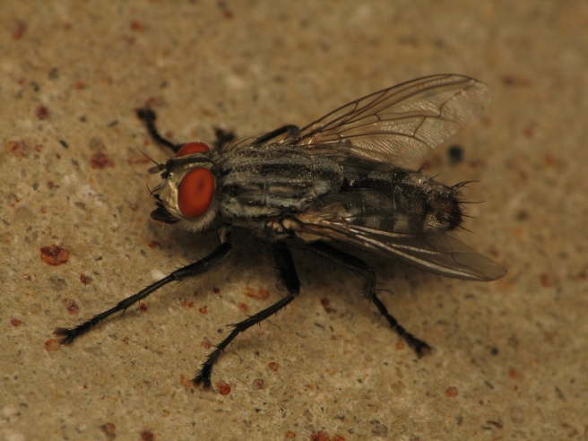 "Flesh Fly, Unknown sp. (Photo: Sean McCann) Similar to both House flies and Blow Flies, Flesh flies are quite common and also scavengers of feces, carrion and garbage.  Flesh flies are small to medium sized flies with a grey and black striped ""back"" or thorax, often with a red tipped ""butt"" or abdomen.  Their entire lefe cycle can be completed quite quickly (as few as 8 days) due to the fact that they live maggots and not eggs. Flesh flies are suspect to transmit pathogens."