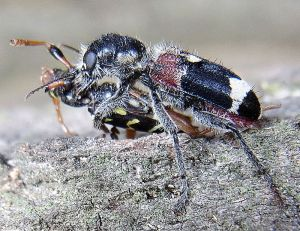 "A ""wolf beetle"" overpowering a longicorn beetle, Hungary, Gerence Highlands. [Photo: Sig]"