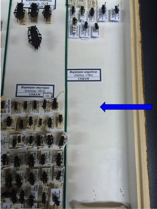 "The spot where the Maple Longicorn Beetle ""should be"" in the collection at the Antipa..."