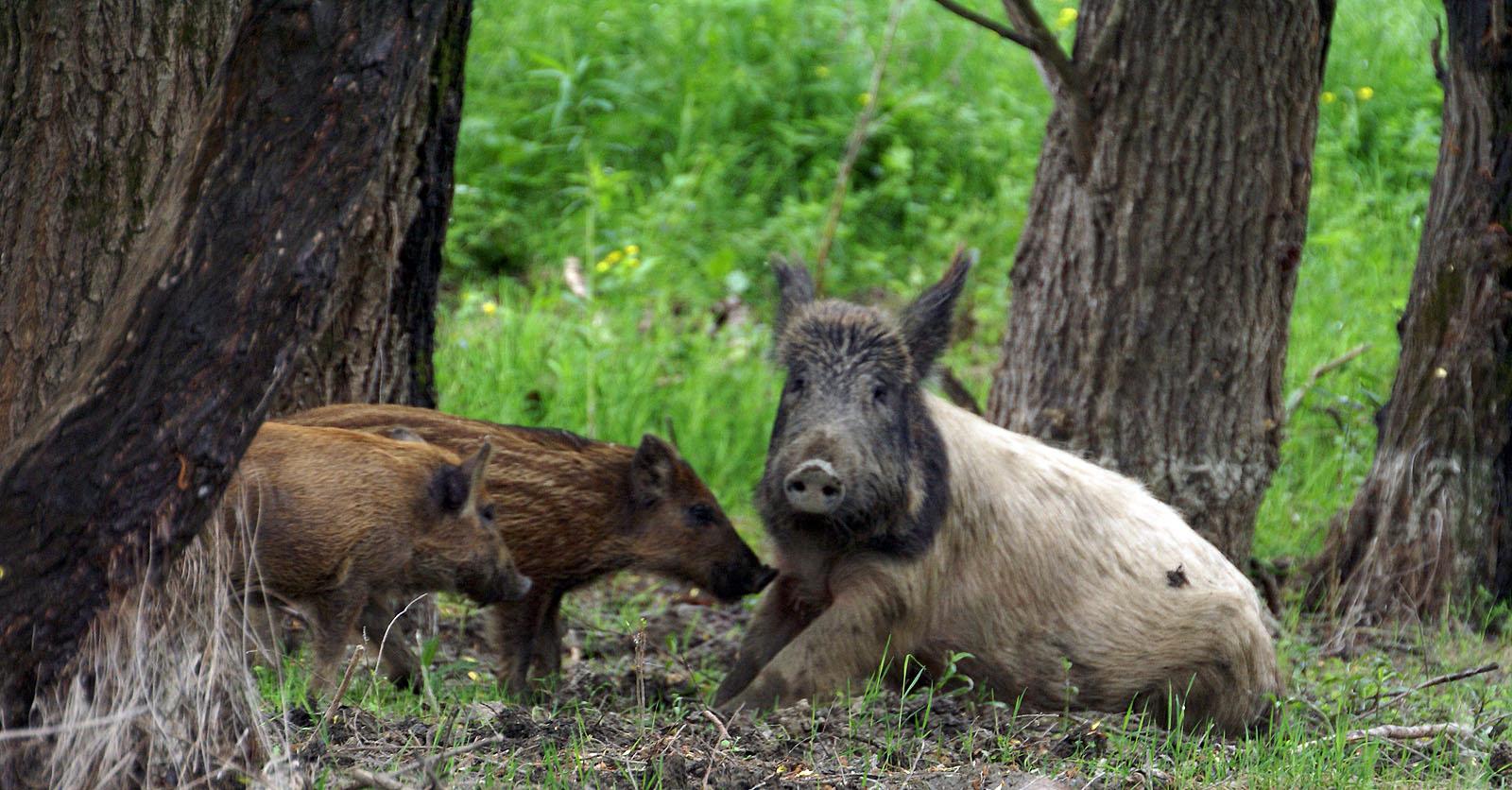 Wild Pigs In Danube Delta