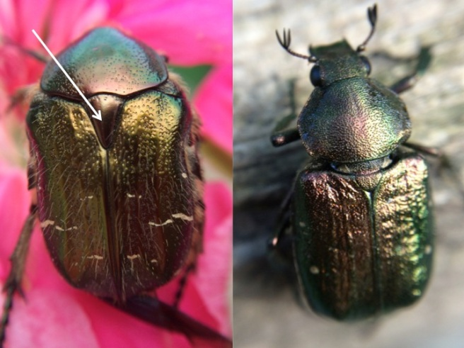 The Rose Chaffer is similar to the Noble beetle with the exception that its scutellem is shaped like an isoseles triangle. The Noble beetle is rare and has a scutelum shaped like a equalateral triangle.